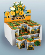 Greengift, Black-eyed Susan 40 pcs in showbox
