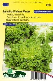 Endive Batavian, Avantgarde Winter