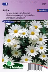 Margriet Alaska (Chrysanth)